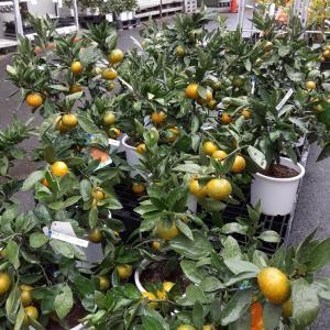 果樹苗 種類豊富に入荷しました!