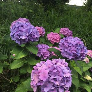 紫陽花の美しい散歩道