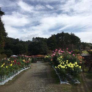 満開のダリア園と温泉❣️(遊湯ランドはなわ)
