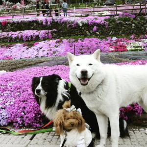 北海道犬 大福。病に倒れるまでの記録⑦最終回