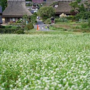 美山かやぶきの里のソバの花