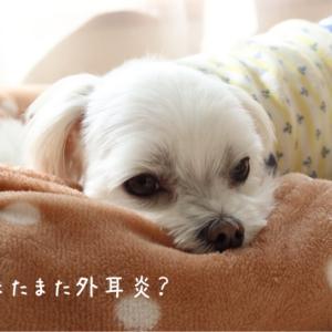 ☆ 台風の次は外耳炎かも~? ☆