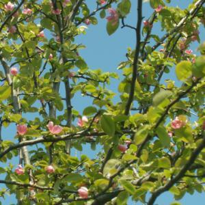 花梨の花  ナニワイバラ蕾