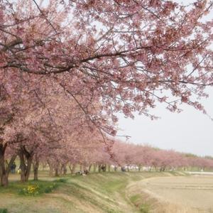 早咲きの安行寒桜☆北浅羽桜堤公園