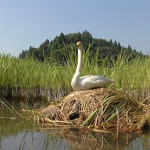 翼の折れた白鳥とおじさんの奇跡の物語。天海祐希、映画初ナレーション『私は白鳥』