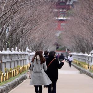 鎌倉鶴岡八幡宮の正月ぼたんを撮る