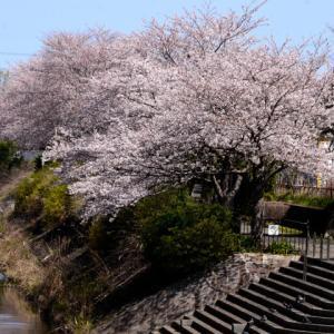 桜咲く、日蓮ゆかりの鎌倉上の道を歩く