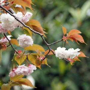 日乗俳句 その六百四十二 花は葉に