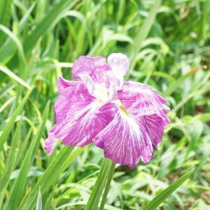 北潟湖畔花菖蒲園・Instagram版を転載します。
