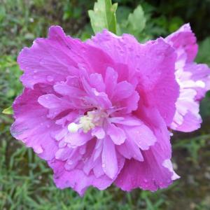 八重咲き木槿と百合2種