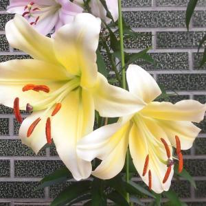 百合2種の開花