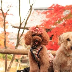 3連休 11月22日 京都・西山 善峯寺で紅葉狩り
