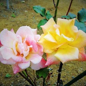 目を閉じてそっと近づく薔薇のかほ