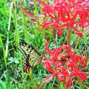 逃げもせず蜜一心に秋の蝶
