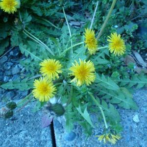 黄色い花のたんぽぽ