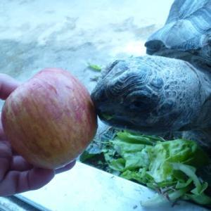 アルダ君にリンゴ1個🍎