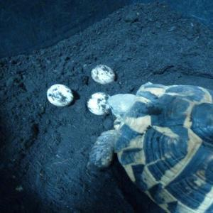 ニシヘルマン1号♀が産卵