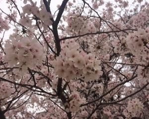 尾花川公園の桜