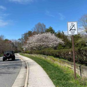 近所の桜🌸