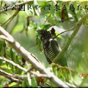 9月の野鳥・ツツドリ