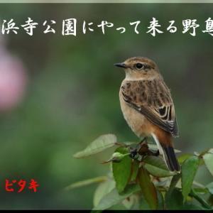 10月の野鳥・ノビタキ