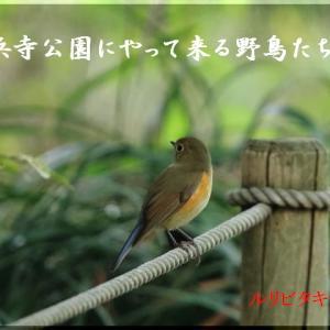 11月の野鳥・ルリビタキ