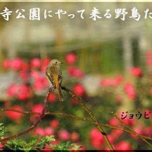 冬薔薇とジョウビタキ