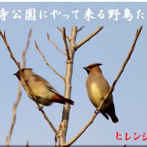 1月の野鳥・ヒレンジャク