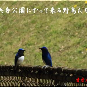 4月の野鳥・オオルリ