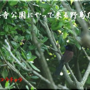 今月の野鳥・サンコウチョウ
