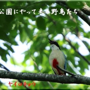 6月の野鳥・ヤイロチョウ