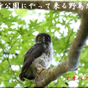 7月の野鳥・アオバズク