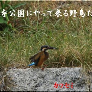 8月の野鳥・カワセミ