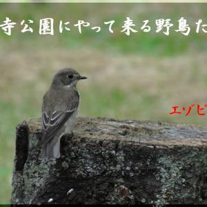 今月の野鳥・エゾビタキ