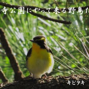 今月の野鳥のキビタキは面白い