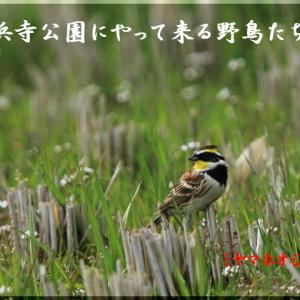 今月の野鳥・深山頬白