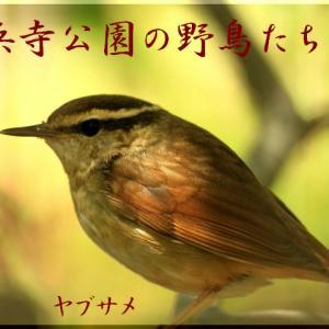 9月の野鳥・ヤブサメ