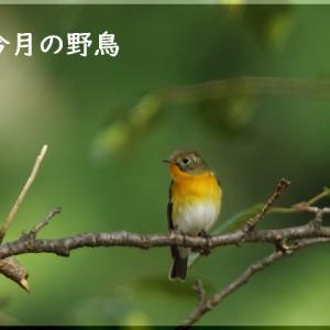 今月の野鳥・ムギマキ