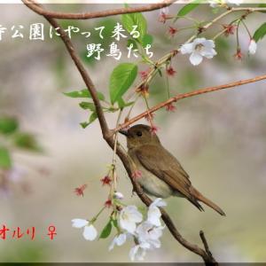 桜オオルリ2