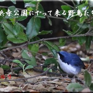 5月の野鳥・コルリ