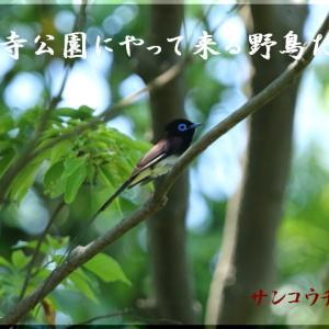 尾羽の長いサンコウチョウ