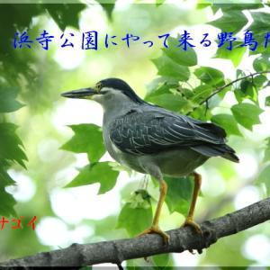 6月の野鳥・枝止まりのササゴイ