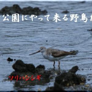 8月の野鳥・ソリハシシギ