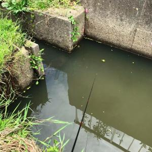 テナガエビを釣って揚げて食う、の巻