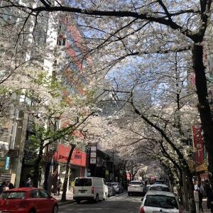 東京駅前の桜