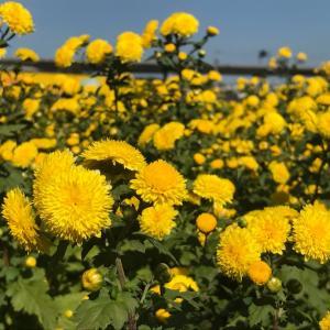 台湾の菊の花のイベントと樟脳の観光工場のご紹介