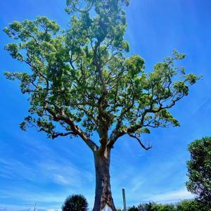 長太の大楠。