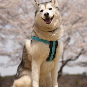遅ればせですが。那須の桜。