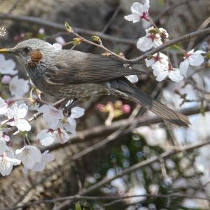 桜の花見に感じる新たな寂しさ