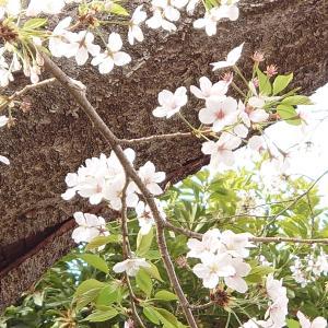 ■葉桜の夢